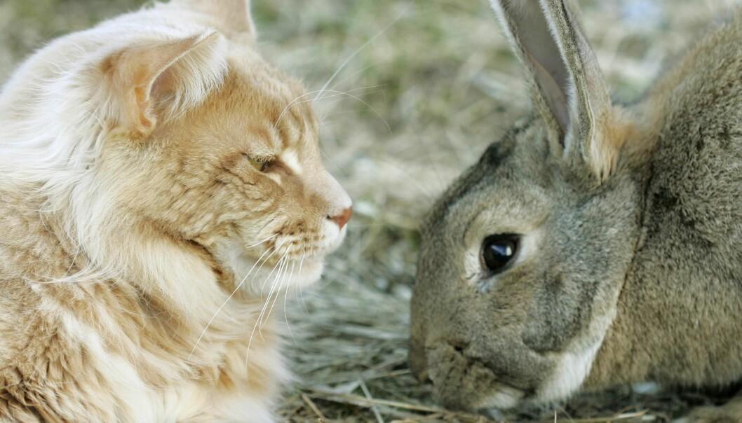 Katt og kanin i øko-konflikt