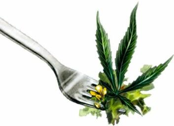 Cannabis er en av verdens raskest voksende planter. Med ny teknologi kan det psykoaktive stoffet THC fjernes. Planten kan dermed være en kandidat til å mette verdens mager. (Illustrasjon: Line Halsnes)