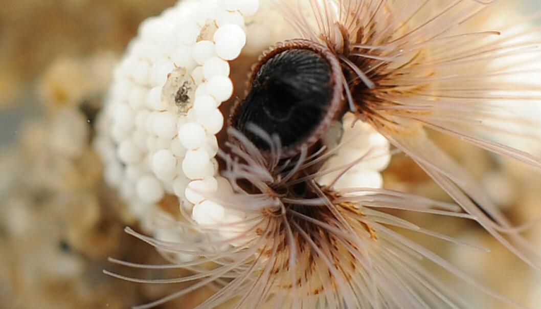 lille ormen Phragmatopoma californica lager sitt krypinn med tentaklene, som fanger inn biter av sand og skjell fra vannet og setter dem sammen med sitt eget naturlige lim. (Foto: Fred Hayes, University of Utah)