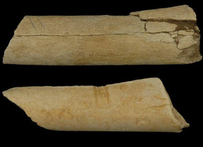Disse kuttene i 3,4 millioner år gamle dyreknokler funnet under utgraving i Afar-regionen i Etiopia kan være spor av den eldste bruk av steinredskaper som vi kjenner til. De to parallelle kuttene i det øverste beinfragmentet er spesielt tydelige (se forstørret utsnitt nedenfor). (Foto: Dikika Research Project)