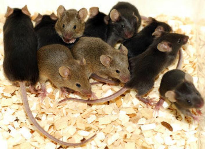 """""""Mors og fars gener kan påvirke hjerneutvikling hos pattedyr på ulikt vis, antyder ny studie. (Foto: iStockphoto)"""" (Illustrasjonsfoto: iStockphoto)"""