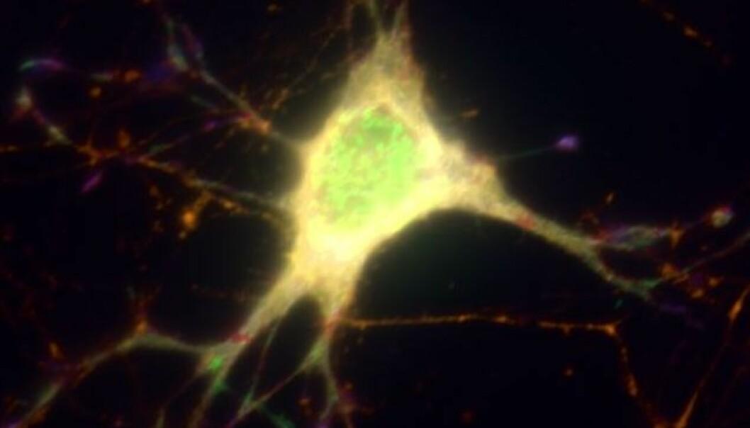 Ved å gjøre nerveceller lysfølsomme, kan forskerne aktivere utvalgte nerveceller i hjernen på forsøksdyr og øyeblikkelig se hvordan dyret reagerer. Foto: NorMIC