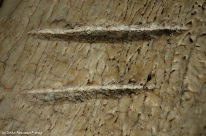 Forstørret detalj av kutt i beinfragment funnet i Afar-regionen i Etiopia. Forskere knyttet til Dikika Research Project mener dette er spor av nærmenneskers bruk av steinredskaper til å partere dyr. (Foto: Dikika Research Project)