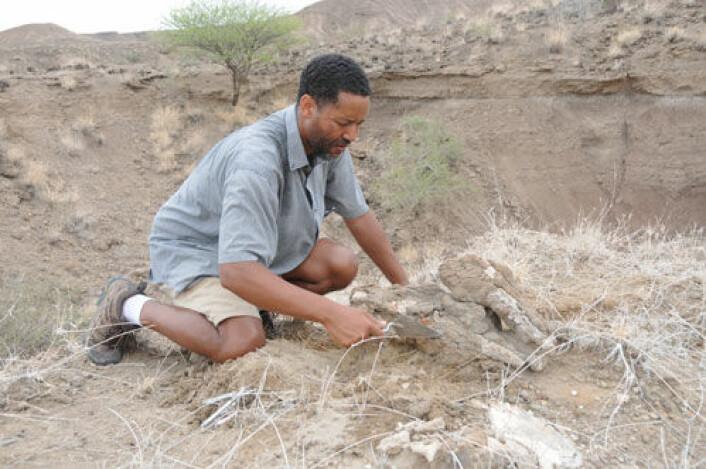 Prosjektleder Zeresenay Alemseged for Dikila Research Project mener lærebøkene må skrives om etter de nye funnene i Afar-regionen i Etiopia. Han arbeider her med et 3,4 millioner år gammelt nesehorn-fossil. (Foto: Dikika Research Project)