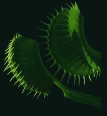 """""""På innsiden av bladene har Venus fluefanger noen små rød kjertler som tiltrekker seg insekter. Setter et insekt seg på innsiden av et blad stimulerer det noen utløserhår. For at ikke regndråper og lignende skal løse ut fellen, må et utløserhår berøres to ganger i rask rekkefølge før fellen settes i gang. I løpet av et sekund lager planten et kraftig spenn i bladet, og deretter klapper det lynraskt sammen for å fange insektet. (Foto: Peter Schweitzer)"""""""