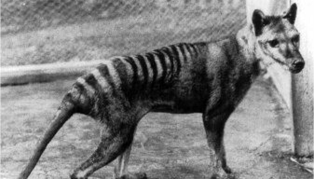 """Tasmansk tiger."""