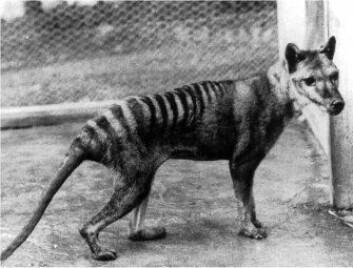 """""""Da Benjamin døde i Hobart Zoo i 1936 forsvant den siste tasmanske tigeren. Nå vil forskerne klone den utdødde arten."""""""