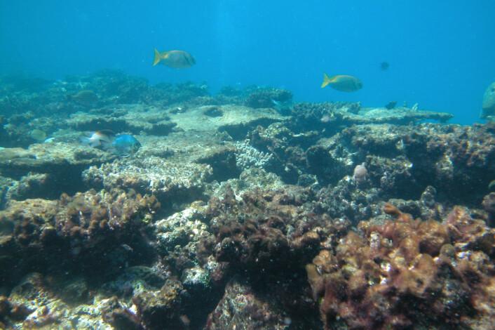 """""""Skadet og bleknet korallrev ved Great Barrier Reef, Australia. Revet regnes som verdens største levende organisme. Fremtiden ser dyster ut for mange av verdens koraller, slår den nye studien fast. Så mange som en tredel av dem kan være forsvunnet innen bare 50-100 år. (Foto: Cathie Page.)"""""""