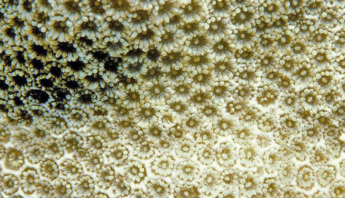 """""""Nærbilde av korallen Porites pukoensis. Hver korall har en såkalt polypp, som er rundt to millimeter i diameter når den åpner seg. Denne koralltypen står på listen over de mest utrydningstruede. (Foto: Donald C. Potts)"""""""