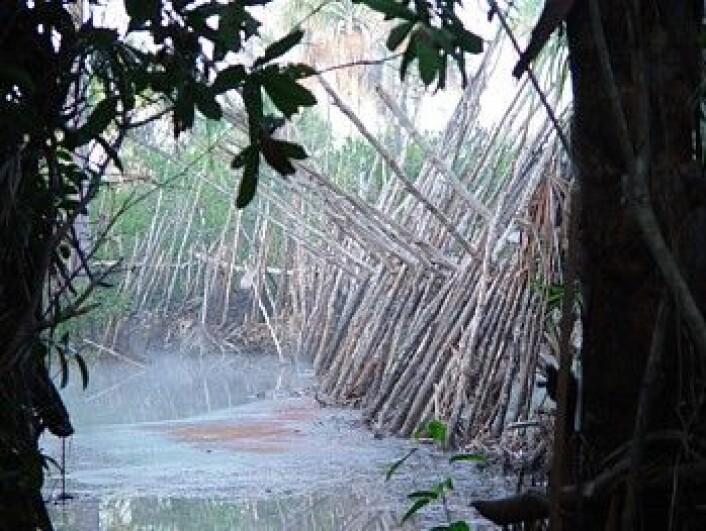 En dam brukt av nåtidens Kuikuro-stamme til å sluse fisk inn i oppbevaringsbassenger. (Foto: Science/AAAS)