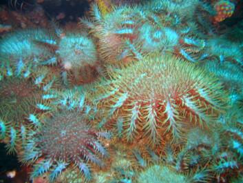 """""""Sjøsterner i ferd med å bre seg over et korallrev i Filippinene. (Foto:Suzanne R. Livingstone)"""""""