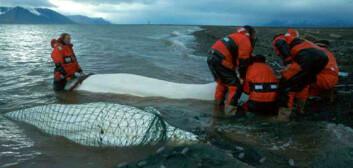 """""""To hvithval er fanget på stranda, og får måleutstyret festet til ryggen. (Foto: Kit & Christian)"""""""