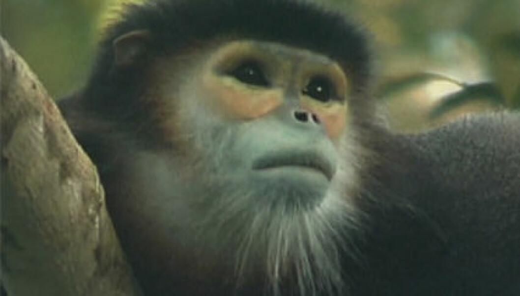 Her et eksemplar av apen Pygathrix nigripes. Foto: Allan Michaud, Wildlife Conservation Society.