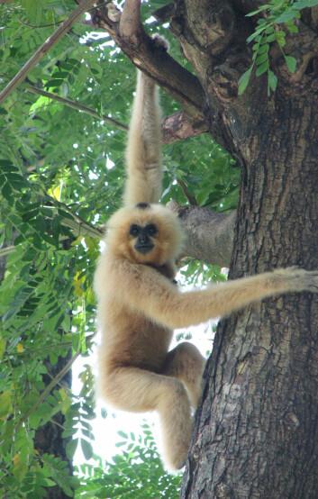 En av gibbonene (Nomascus gabriellae) som inngår i opptellingen Wildlife Conservation Society har foretatt i Kambodsja. Foto: Matt Hunt