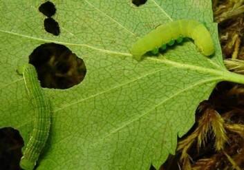 Larver av fjellbjørkemålere på et bjørkeblad. Larven til høyre er parasittert av en veps. Fire parasittlarver kan ses på siden av målerlarven. (Foto: Rolf A. Ims)