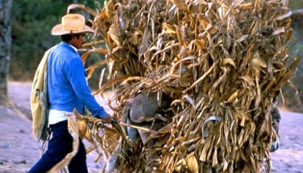 Mexicos urmais ødelagt av genmanipulasjon?