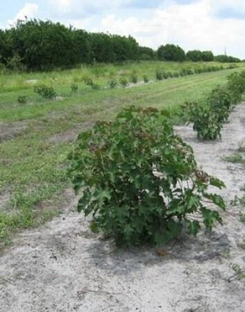 Jatrophaplanting på appelsingård i Florida. Citrus dyrkingen i Florida er halvert de siste årene og Jatropha er ett av alternativene som har vekt interesse. (Foto: Odd-Arne Olsen)