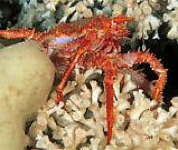 """""""Korallen Lophelia pertusa, og krabben Lithodes maja på korallrevet Selligrunnen i Trondheimsfjorden. (Foto: WWF-Canon / Erling Svensen)"""""""