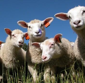 På vanlig utmarksbeite ligger tilveksten på rundt 250 gram per dag. Forskerne vil finne ut om lammene kan oppnå samme tilvekstkurve på inngjerdet beite. (Foto: Jon Schärer)