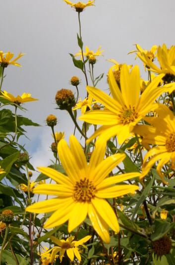 Jordskokk i blomst. (Foto: Randi Seljåsen)