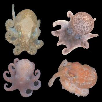 """Forskerne mener at flere dypvannsblekkspruter har samme stamfar som Megaleledone setebos (nederst til venstre, foto: image: M.Rauschert). De øvrige artene (fra venstre oppe): Pareledone charcoti (Foto: L.Allcock), Thaumeledone gunteri (foto: I.Everson), Adelieledone polymoprha (foto: L.Allcock)"""