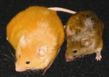 """""""Musemødrene som fikk vitaminer fødte mørkere og slankere unger enn musene som fikk standarddiett. (Foto: Duke University Medical Center)"""""""