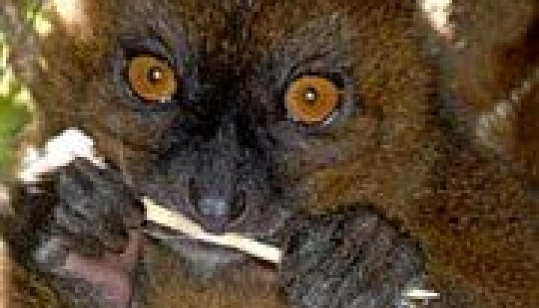 Lemur av arten Greater Bamboo Lemur (Foto: Wikimedia Commons).