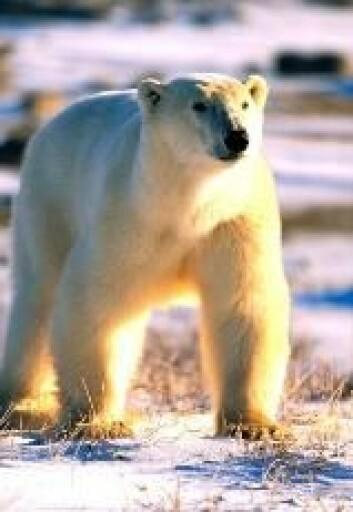 """""""Isbjørnen har det også vanskelig for tiden. Bør isbjørnene flyttes til Antarktis?"""""""