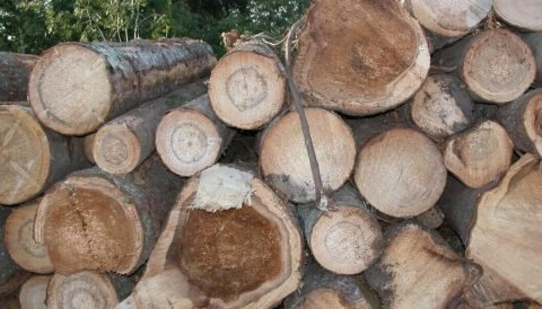 Ved å bryte ned ved i røtter og stamme av gran, forårsaker rotkjuke et tap på rundt 100 mill kr. i våre skoger hvert år. (Foto: Halvor Solheim, Skog og landskap)