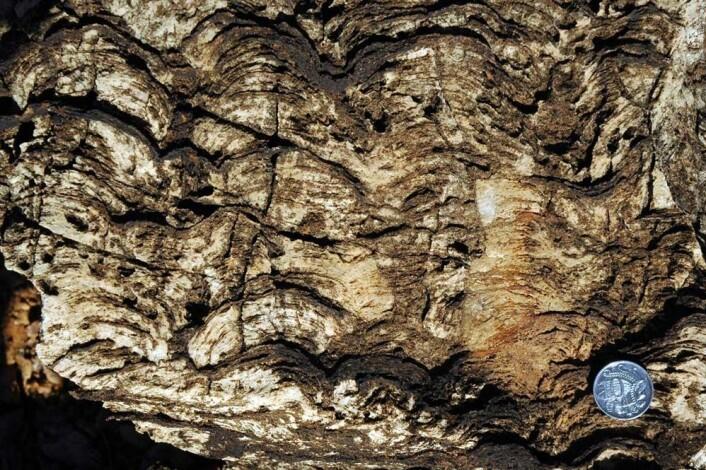 """""""Forskerne mener å ha funnet fossiler av hittil ukjente organismer. Foto: University of Melbourne"""""""