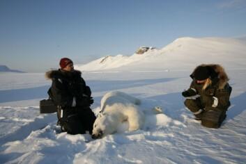 Isbjørnforsker Jon Aars og student Silje-Kristin Jensen merker isbjørnbinne og unger. (Foto: Magnus Andersen/Norsk Polarinstitutt)