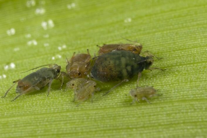 """""""Skadeinsekter som Rhopalosiphum padi, en bladlus som lever på maisplanter, har mindre sex når de befinner seg i landbruksområder, ifølge en studie gjort i Australia. Foto: University of Melbourne"""""""