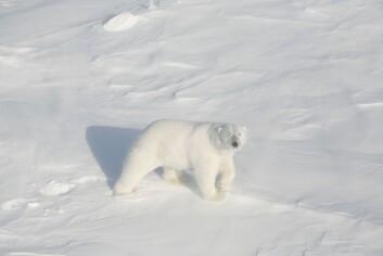 Stor isbjørnhann. (Foto: Magnus Andersen/Norsk Polarinstitutt)