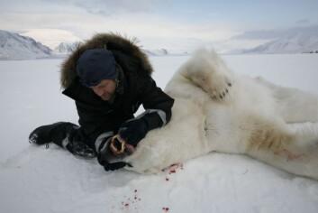 Isbjørnforsker Jon Aars sjekker tenner (og alderen) på isbjørnen. (Foto: Magnus Andersen/Norsk Polarinstitutt)