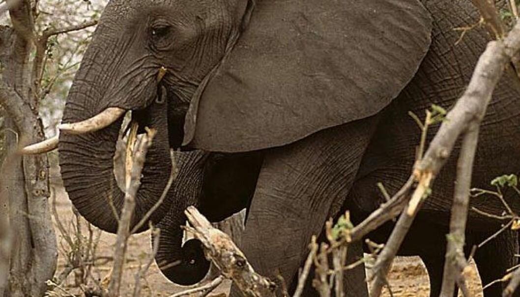 Elefanter som naturforvaltere