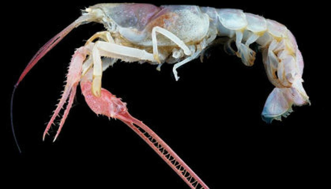 Blind dypvannshummer, tilhører en sjelden gruppe som kalles Thaumastochelopsis. (Foto: Tin-Yam Chan/National Taiwan Ocean University/Keelung/courtesy COML)