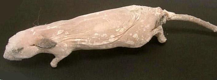 """""""Dette er hannmusen som ble frosset ned på begynnelsen av 1990-tallet. Ved hjelp av hjerneceller fra det døde individet, har forskerne gjenksapt en tro kopi. (Foto: National Academy of Sciences PNAS)"""""""