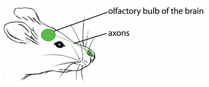 """""""Forskerne mener at lukten av frykt registreres av en cellebunt innenfor nesetippen som kalles Gruenebergs ganglion. Derfra går signalene videre til luktsenteret i hjernen, som gir kroppen beskjed om å angripe, flykte eller stå stille. (Illustrasjon: Science/AAAS)"""""""
