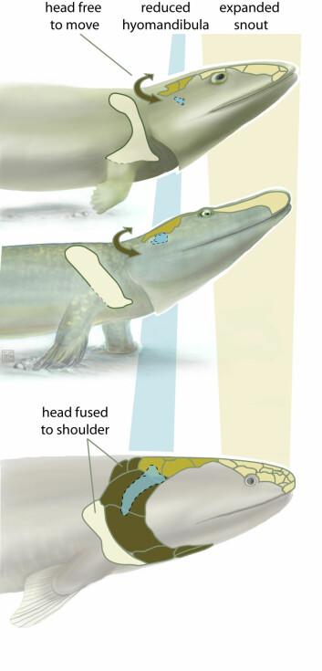 En ny studie av Tiktaalik roseae (i midten) viser overgangen fra fisk som Eusthenopteron (nederst) og dyr med begynnende bein, som Acanthostega (nederst).(Illustrasjon: Kalliopi Monoyios)