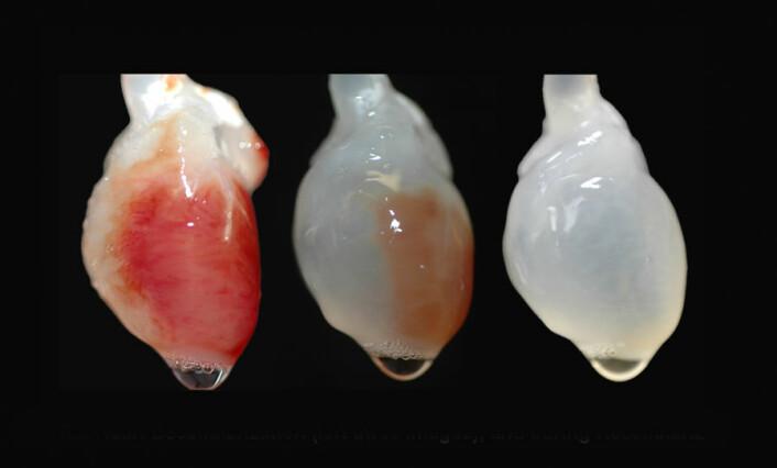 Professor Doris Taylor fra University of Minnesota har klart å dyrke fram helt levende, bankende rottehjerter. Først fjernet hun alle cellene fra et dødt hjerte (bildet). Så plantet hun nye celler på reisverket av bindevev som var igjen. Bare noen dager etter begynte det nye hjertet å slå.
