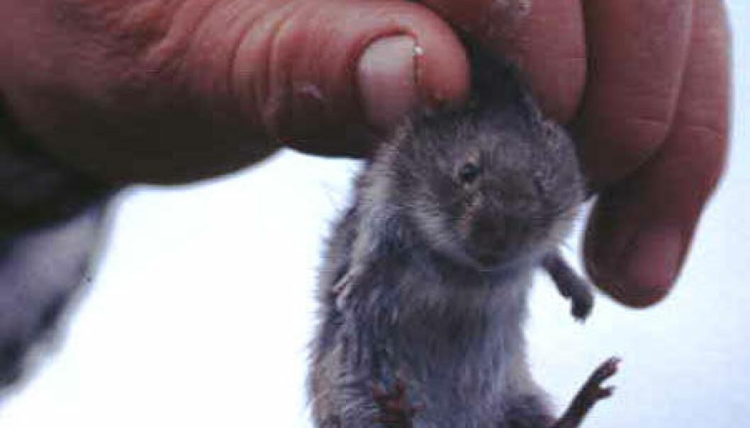 """""""Østmarkmusa er en introdusert art på Svalbard."""""""