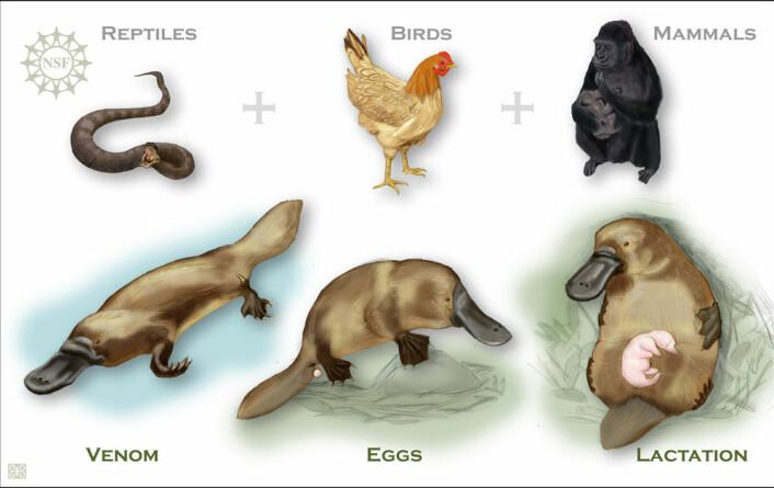 """""""Nebbdyrethar giftbrodder somslanger, legger egg som fugler ogproduserer melk sompattedyr. (Ill: NSF)"""""""