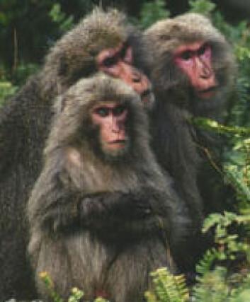 """""""Japanmakakene er også berømte for å vaske maten sin, og er de nordligste primatene bortsett fra menneskene."""""""