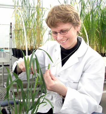 Avdelingsinegniør Marit Holmøy (UMB) foredler korn med tradisjonelle teknikker, som kan bli erstattet av teknikker med genmodifisering. (Foto: Håkon Sparre)