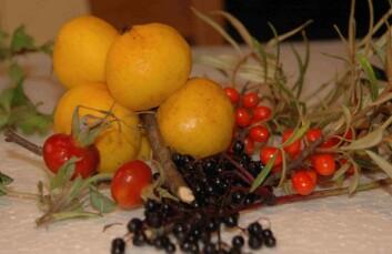 Røde nyper, gule ildkvedeepler, svarthyllbær og oransje tindvedbær kan brukes på kjøkkenet.