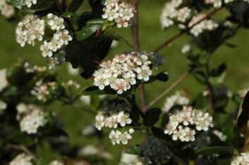 Blomstrende aronia. (Foto: Sølvi Svendsen)