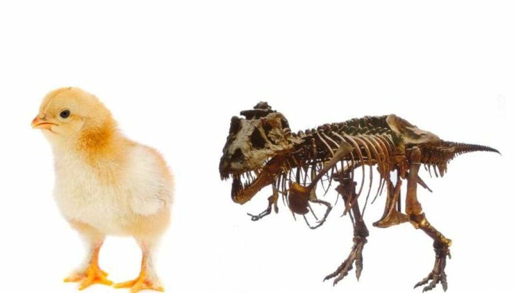 Tyrannosaurus og kyllingene