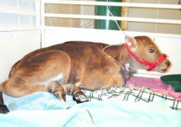 """""""Denne klonede gauren ble født i 2001, men døde bare to dager etter fødselen."""""""