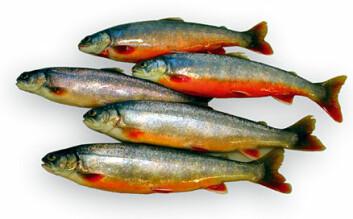"""""""Oppdrett av villfanget røye: Det er gode grunner til å spare både fôr og energi ved å gi fisken en kort vinter."""""""