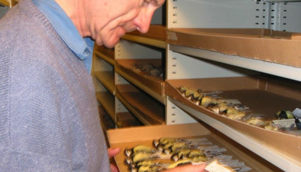 """""""Professor Olav Hogstad har mange fugleliv på samvittigheten. Men når meisene havner i Vitenskapsmuseets samlinger, har de gjort nyttig samfunnstjeneste. Foto: Tora Saltnes"""""""